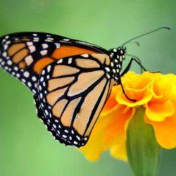 monarca libando
